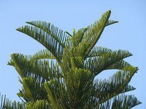 Green New Caledonia Pine or Cook Pine Tree Against the Blue Sky Stock Photo