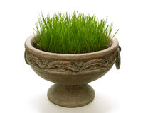 Green new grass in a pot Royalty Free Stock Photo
