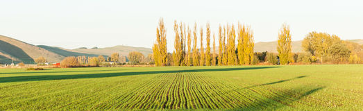 Green new shoots of crop in long rows with morning sun's long sh Royalty Free Stock Images