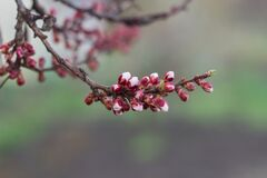 Free Green New Spring Buds On A Tree Branch In Early Spring. Sunset, Dawn, Evening. Stock Photography - 208033102