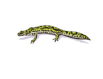 Green newt Royalty Free Stock Photography