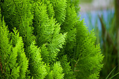 Green nice pine fir leaves Royalty Free Stock Photography