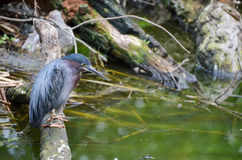 Green night heron Stock Photo