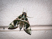 Green night moth. (Dephnis nerii Linneaus) with flash light and vignette effect Royalty Free Stock Image