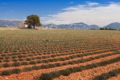 Lavender field in France. Green non-blooming bushes of lavender in Provence France Stock Photography
