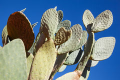Green nopal cactus. Green opuntia stricta or nopal cactus before a deep blue sky, Namibia royalty free stock photography
