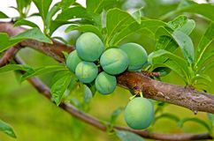 Green, not yet ripe plum berries, growing on a branch. Close-up. stock photography