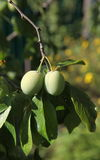 Green is not yet ripe plums, fruits, like olives, among green leaves on a tree branch. Royalty Free Stock Photo