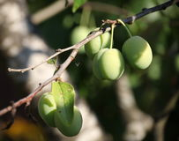 Green is not yet ripe plums, fruits, like olives, among green leaves on a tree branch. Stock Photos
