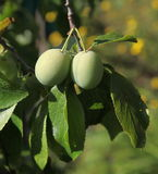 Green is not yet ripe plums, fruits, like olives, among green leaves on a tree branch. Royalty Free Stock Photos