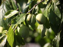 Green is not yet ripe plums, fruits, like olives, among green leaves on a tree branch. Stock Photo