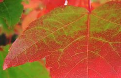 Green-now red, autumn leaf Royalty Free Stock Photo
