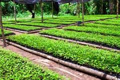 Green nursery. In this photo is Prunus cerasoides in thai call Nang Phaya Saue Krong or Thai Sakura stock photos