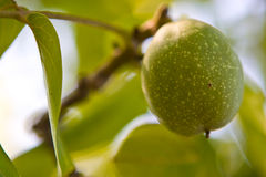 Green nut. Nut fruit on a tree branch Royalty Free Stock Photo