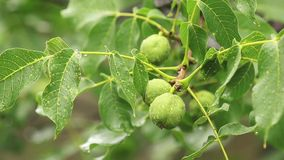 Green nuts on the branch with water drops in the garden. Trees in the rain, close up, dynamic scene, toned video. Green nuts on the branch with water drops in stock footage