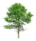 Green Oak Royalty Free Stock Photos