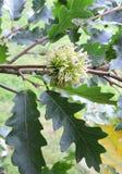 Green oak acorn Royalty Free Stock Photo
