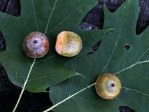 Green oak acorns on the leaf Stock Photography