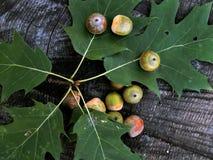 Green oak acorns on the leaf Royalty Free Stock Photos