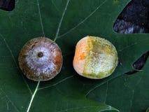Green oak acorns on the leaf Stock Photo