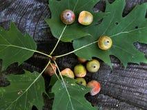 Green oak acorns on the leaf Stock Images