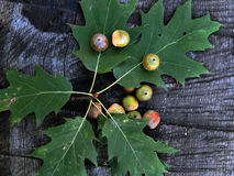 Green oak acorns on the leaf Royalty Free Stock Photography