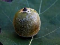 Green oak acorns on the leaf Stock Photos