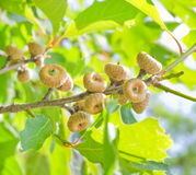 Green oak acorns in summer time. Green oak acorns in summer stock image