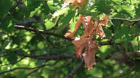 Green oak branch in sunlight. Green oak branch with the first yellowing leaves stock footage