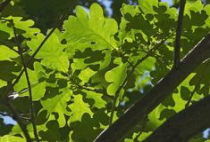 Foliage of oak Stock Photo