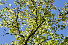 Green oak branches in a wood Stock Photo