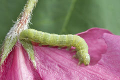 Green Oak Caterpillar Stock Photography