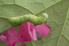 Green Oak Caterpillar Royalty Free Stock Photo