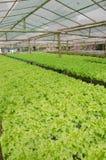 Green oak, cultivation hydroponics green vegetable Stock Photo
