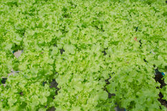 Green oak, cultivation hydroponics green vegetable Royalty Free Stock Image