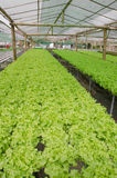 Green oak, cultivation hydroponics green vegetable Stock Photography