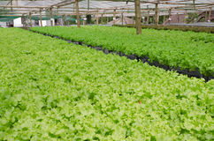 Green oak, cultivation hydroponics green vegetable Stock Photos