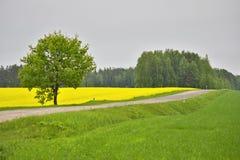 Green oak among a field with a rape Royalty Free Stock Photo