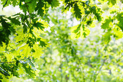 Green oak foliage in summer sunny day Stock Photo