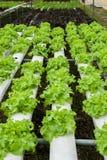 Green oak in hydroponic farm Stock Photo