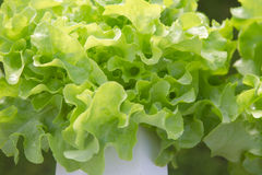 Green oak Royalty Free Stock Image