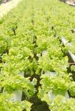 Green oak Royalty Free Stock Photo
