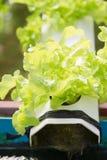 Green oak Royalty Free Stock Photography