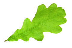 Green oak leaf. Green maple leaf. Closeup isolated on white background Royalty Free Stock Photo