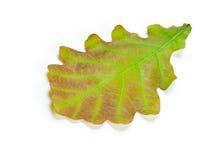Green oak leaf. Isolated on white background Stock Image