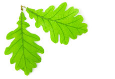 Green oak leaf. Isolated on white background Stock Photo