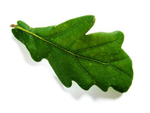 Green oak leaf Royalty Free Stock Photos