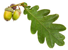 Green oak leaf and acorns Royalty Free Stock Photos
