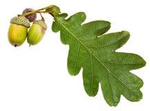 Green oak leaf and acorns royalty free stock photos