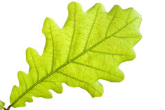 Green oak leaf close up Stock Photography